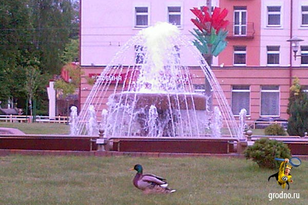 Утки возле фонтана на Советской площади Гродно. 7.05.2012 г.
