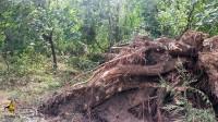 Корни упавшего дерева