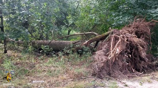 Корни упавшего дерева в Лососна